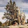 Bristlecone Pine: Patriarch Grove, Inyo National Forest, California<br /> <br /> Clark's Nutcrackers (a type of jay) play an important role in propagating the bristlecones. During the summer they cache the seeds underground to eat during the winter. Those that aren't retrieved may sprout and grow.  Since these seeds are often planted near each other, the resulting trees eventually grow together.
