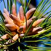 New Born Pine Cones