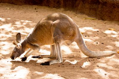 Yet another Red Kangaroo.