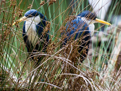 Two shy Pied Herons hiding in the rushes.