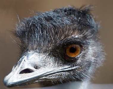 The Emu's winsome face