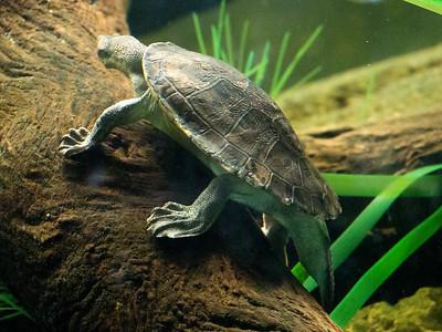 Turtle climbing an underwater log.