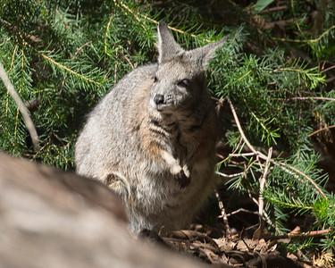 A Tammar Wallaby.