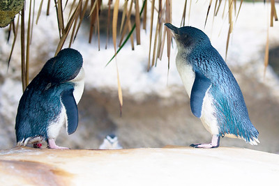 Two Litttle Penguins in conversation.