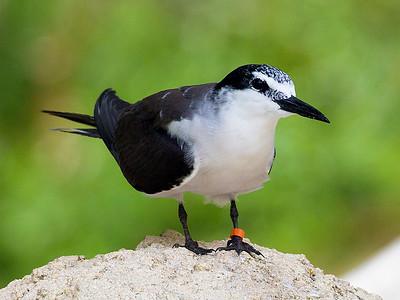 A Bridled Tern.