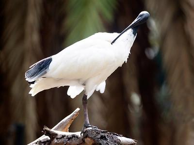 Another Australian White Ibis.
