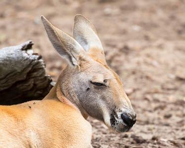 Red Kangaroo face.