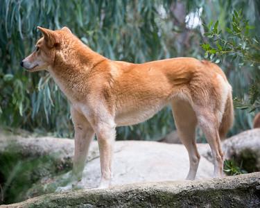 A Dingo (by jingo!)