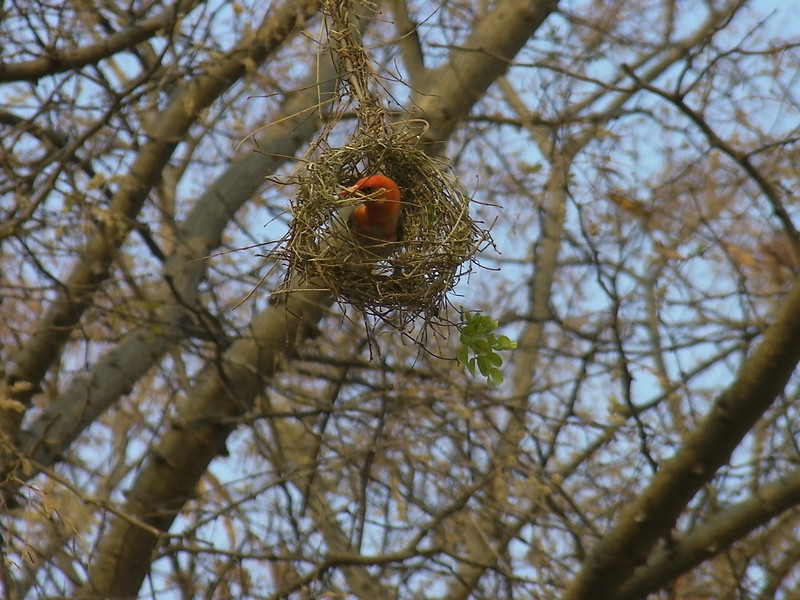 red headed weaver building his nest