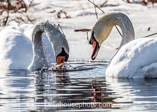 Blue Ice - Swan Series 3