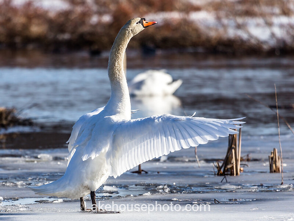 Blue Ice - Swan Series 2