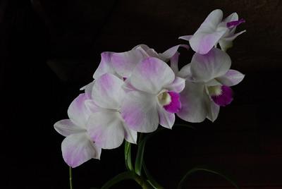 Dendrobium hybrid Orchid