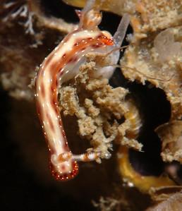 Caramel hypselodoris (Hypselodoris maculosa)