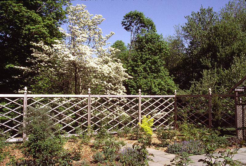 The inside of the Secret Garden early with the dogwood in bloom, looking southeast. The small yellow plant is a Sambucus Aureus or Golden Elder, grown for the leaves which are brilliant in Spring.