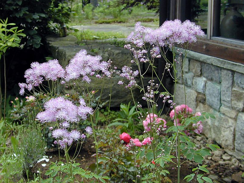 Thalictrum aquilegifolium - Meadow Rue -  tall and airy and often planted by wind or bird as this plant was. Rosarium Uetersen rose newly planted and very short is seen behind.