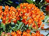 Butterfly Weed - Asclepius Tuberosa- a native wild flower that self-sows readily. It is related to Milkweed, and the deer will not eat it as the juice is whitish and alkyloid. Ugh!