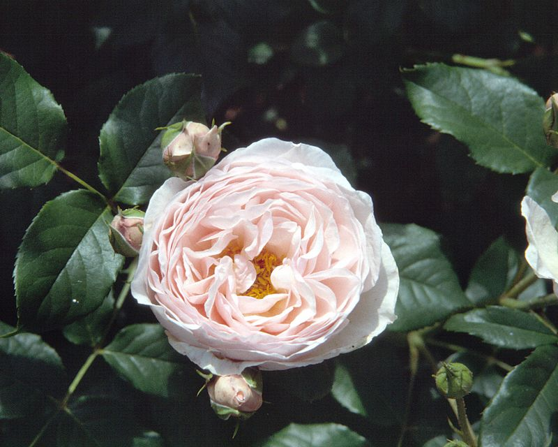 Rose Heritage, a modern English rose developed by David Austin. This rose has proven extremely  winter-hardy  and has grown far taller than expected with upright, quite thornless canes.