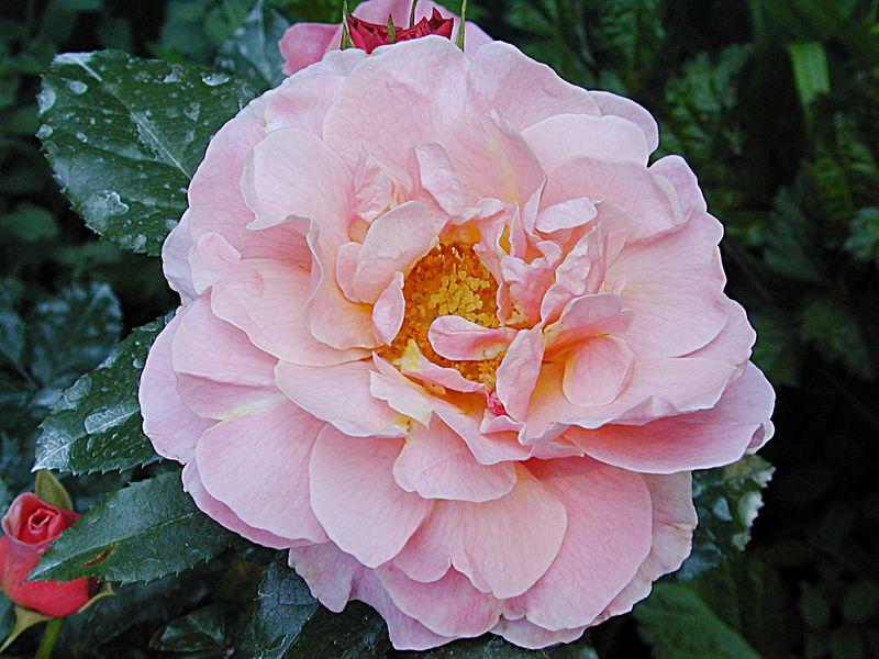 Marie Curie rose.
