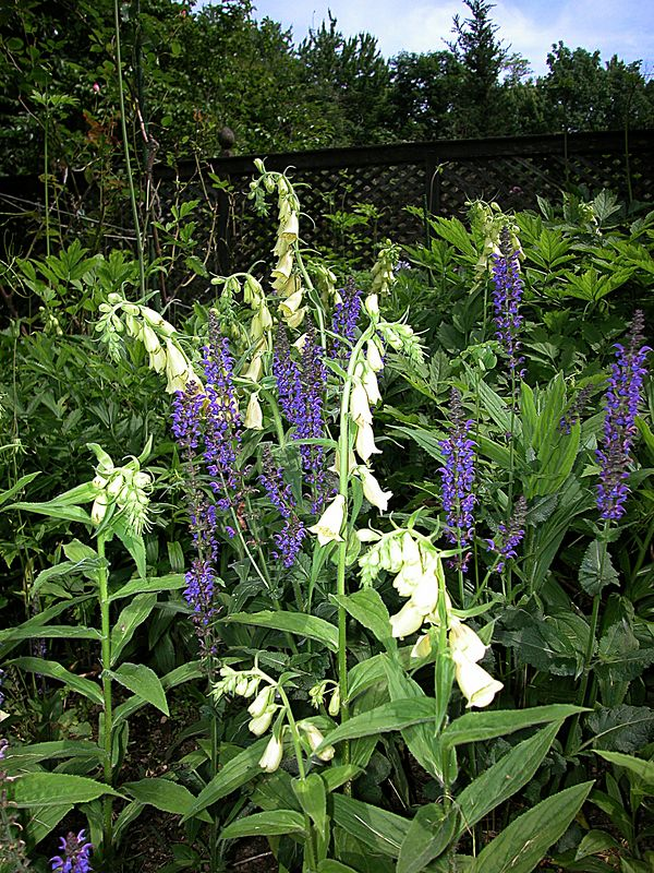 Digitalis ambigua, a perennial and very hardy foxglove that  is more compact than the biennial foxglove, and it seeds itself quite freely and unexpectedl, yet is never invasive. It blooms over a long season. The foxglove is intermixed with Salvia May Night, a hybrid cross.