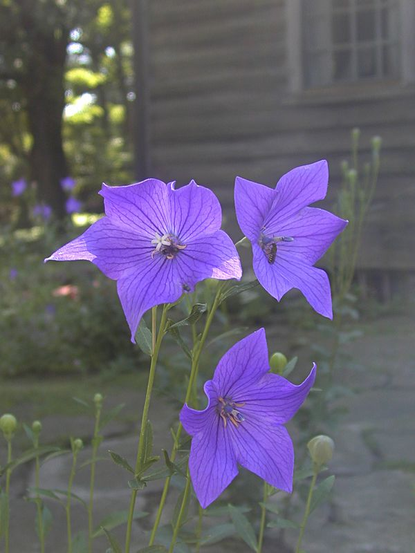 Platycodon grandiflorus - known as Balloon Flower from the flowerbuds which look exactly like hot air balloons. Another great blue flower that blooms in July and comes from a tap root which is hard to transplant. The plant self-sows when happy.