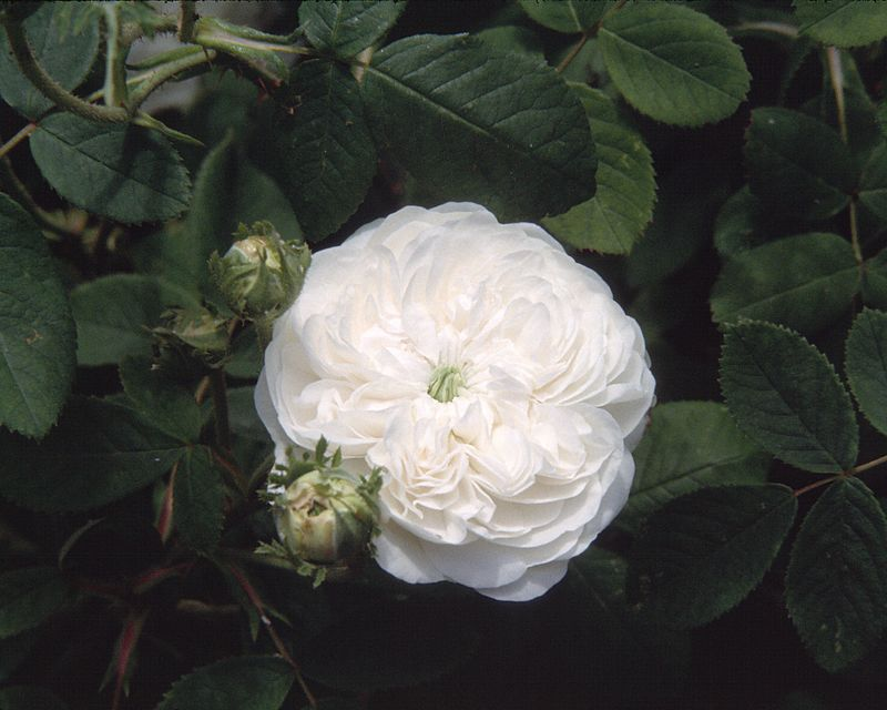 Madame Hardy, classified as a Damask rose (with Centifolia ancestry) introduced in 1832, bred by M. Hardy  who had charge of Empress Josephine's rose collection at Malmaison.
