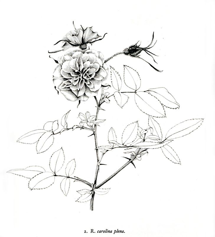 Or - could the rose be this, a species rose - Rosa Carolina plena - as drawn by Graham Thomas and appearing in his book  'Shrub Roses of Today'. It just might be possible as the Eura Walker rose is a Carolina grown rose.