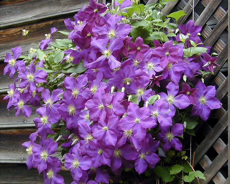 Clematis Jackmanii, a multiflowed but not huge flowered clematis which is easy to grow and not persnickity.