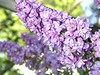 Double French Lilac.