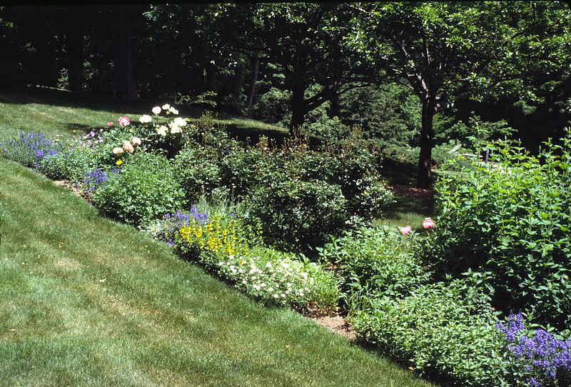 Outside the Secret garden - the eastern long border with Carolina Lupine (Thermopsis), Veronica, Geranium Striatum Lancastriense, Lysimachia punctata, Bonica roses still in bud, and peonies, including Krinkled White.