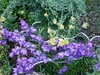 Campanula Persicafolia and Thalictrum Glaucum in a friend's garden.