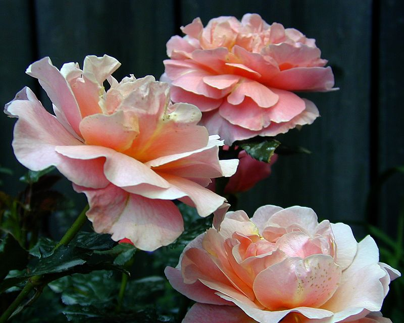 Rosa Marie Curie, a modern rose with melting coral buff tones.