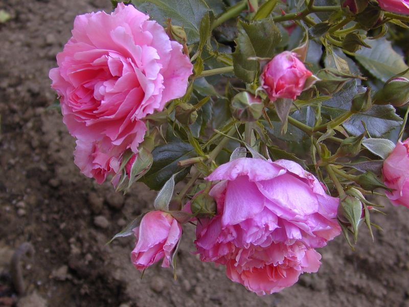 This is the same rose as the preceding - Rosarium Uetersen, but photographed while still in its nursery pot. It appears to be a  completely different  rose in form and color.