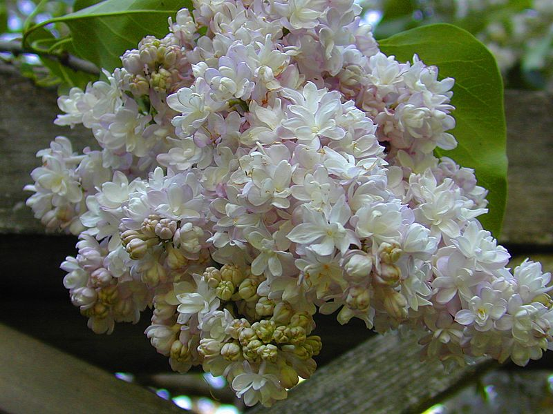 Another double French Lilac.