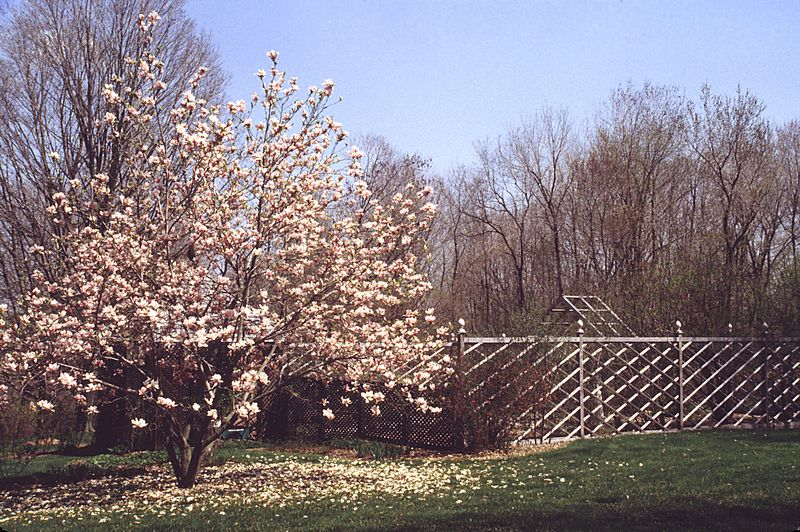 The garden from the northwest with the magnolia tree in full bloom.