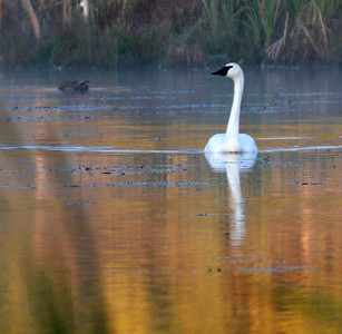 Trumpteter Swan in the mist