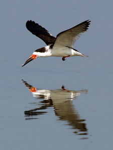 Now a Black Skimmer takes flight ...