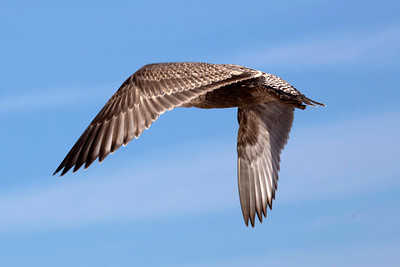A brown gull flies overhead.