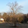 The tree on my morning walk