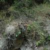 A closer view, its neighbors are maidenhair ferns.
