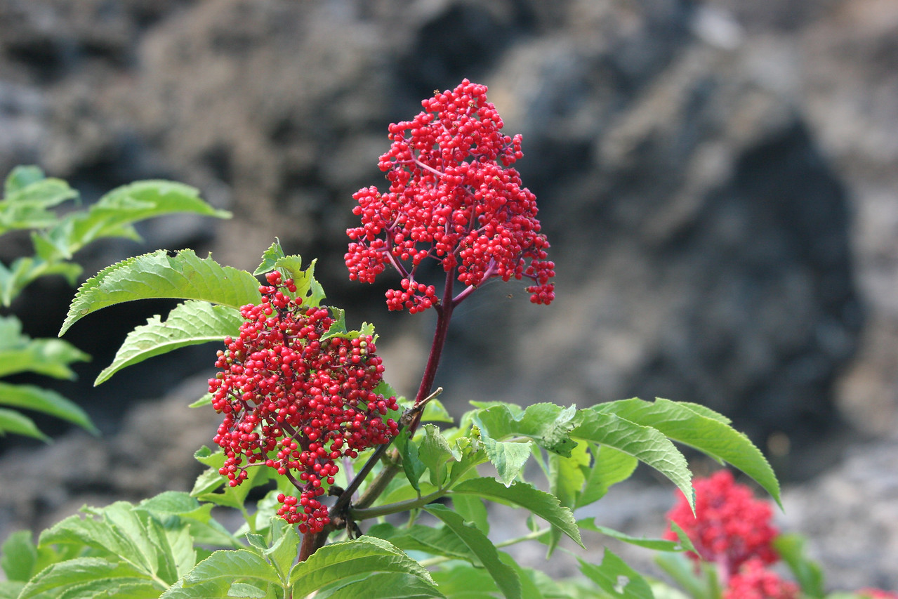 Berries on the McKenzie Pass Road, Oregon
