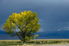 This was a tree growing very near the roadside of highway 395 in the Owens River Valley.