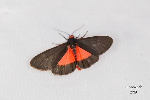 Joyful Holomelina, Virbia laeta