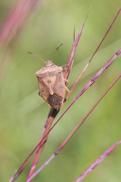 Brown Stink Bug, Euschistus servus