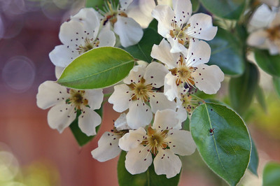 But a clever photographer again, with a little tweaking, can find a way to take a photo of a blooming pear tree without any dog-related stuff in the photo.