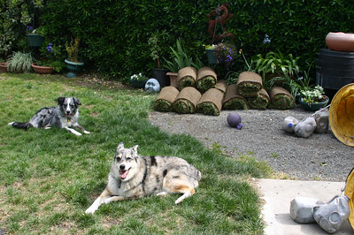 But I digress. Lawn. Sod. Dogs. See sod rolls. See dogs lie. (They're not really dishonest. Trust me.)