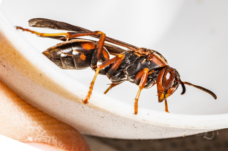 female PAPER WASP_MG_6287