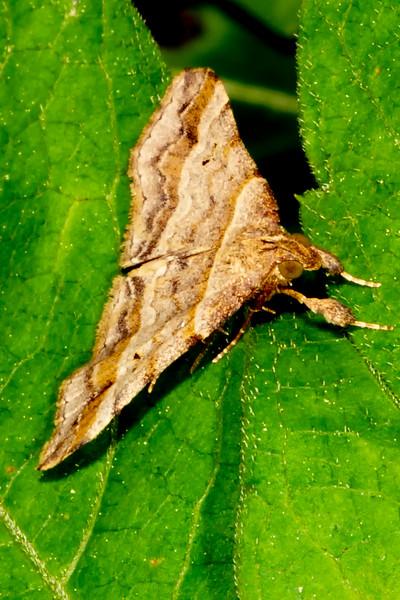 Dark-Banded Owlet Moth_MG_6374