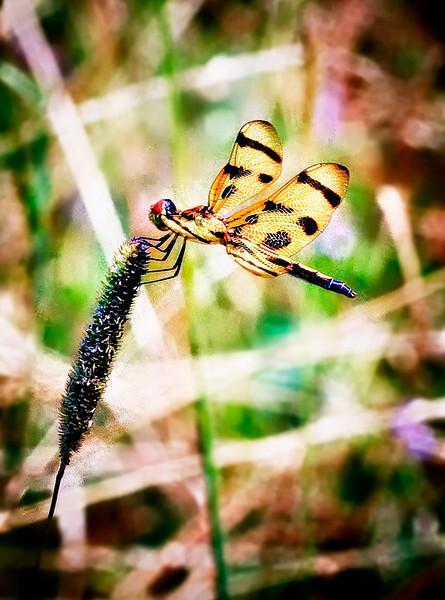 _MG_2046 halloween pennant dragon fly
