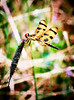 _MG_2046 halloween pennant dragon fly