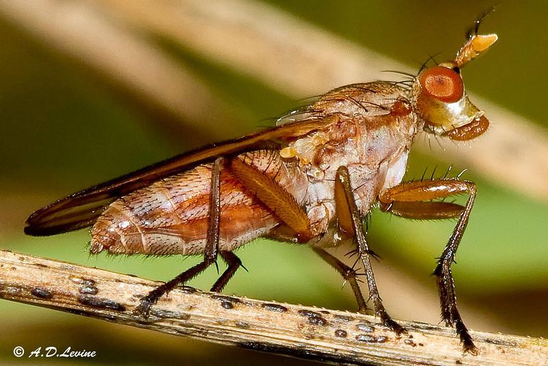 _MG_3352 marsh fly Sciomyzidae